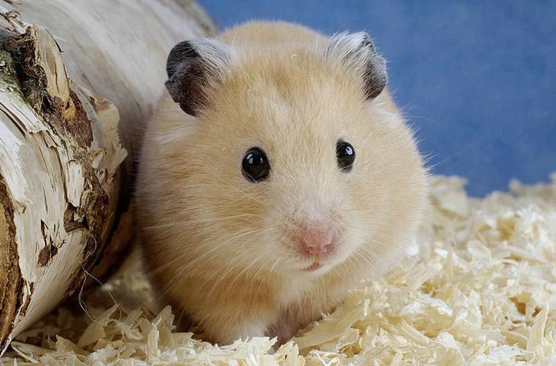 Fun-Interesting-Facts-About-Hamsters-5