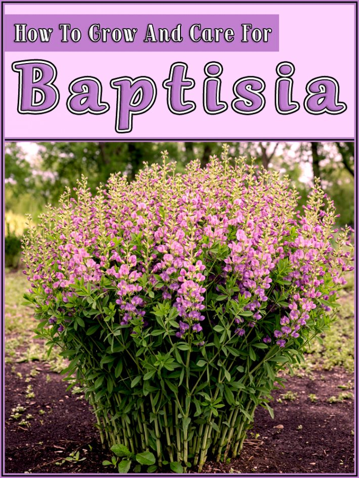 Baptisia