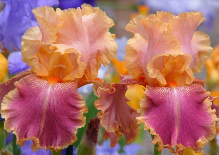 How to Grow Bearded Iris - Quiet Corner