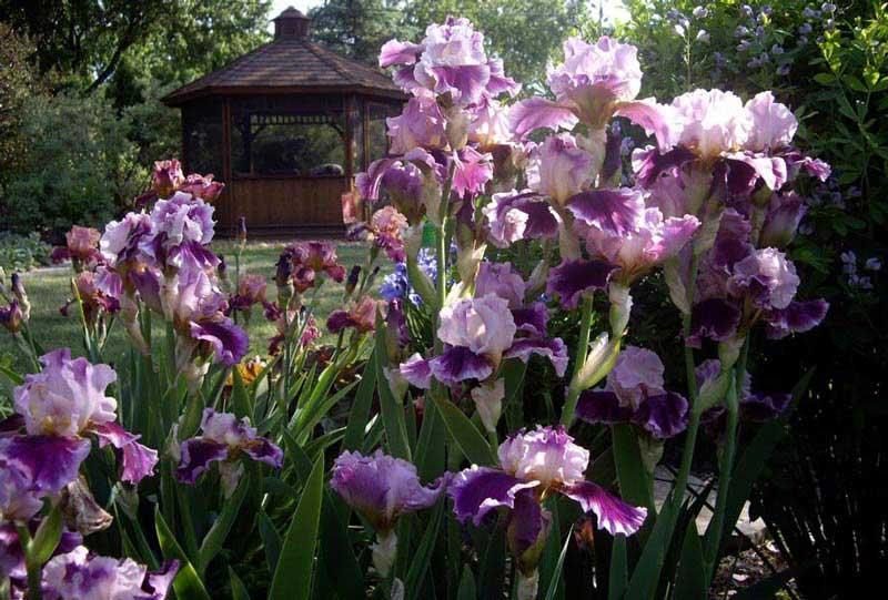 Bearded-Iris-6k
