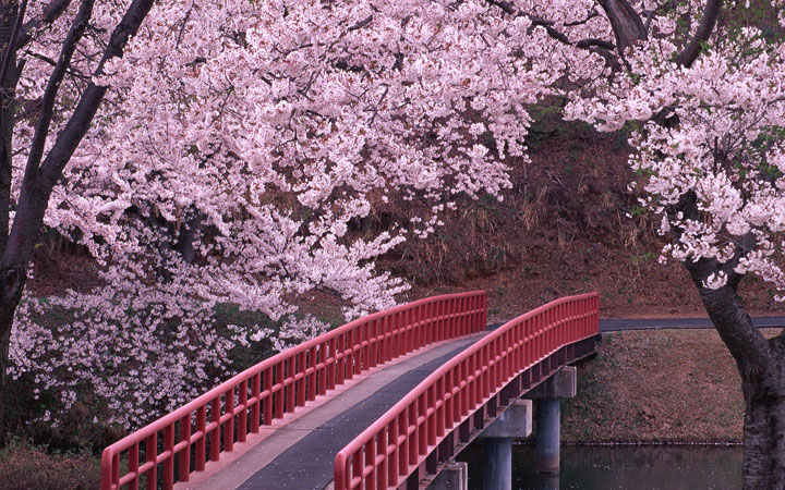 10 Magical Pics Of Japan's Cherry Blossom By National Geographic