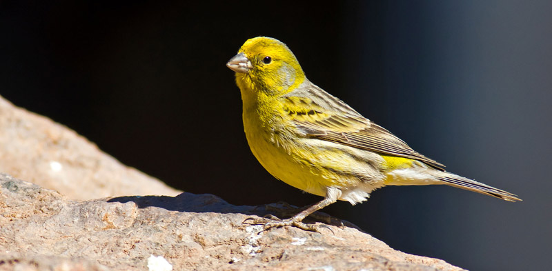 All-You-Need-to-Know-About-Canaries-4