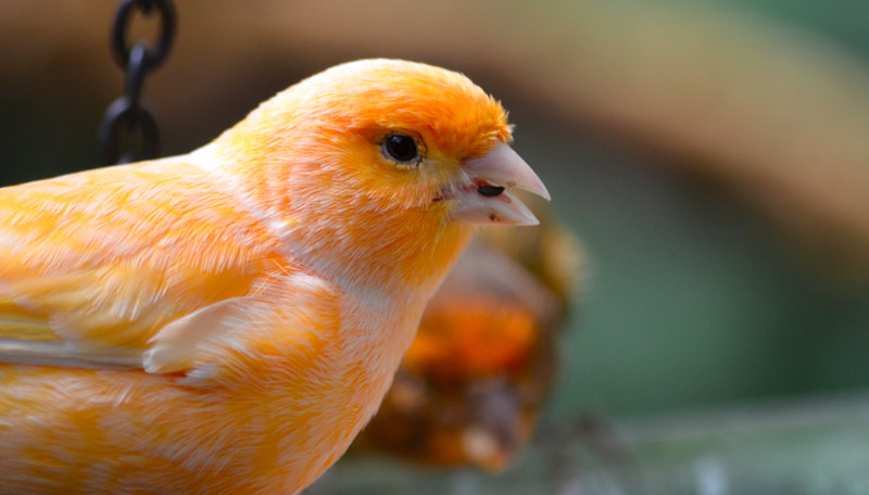 All-You-Need-to-Know-About-Canaries-6