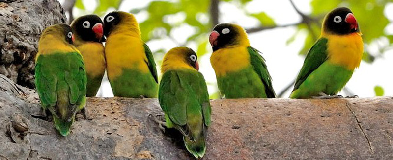 All-You-Need-to-Know-About-Lovebirds-2