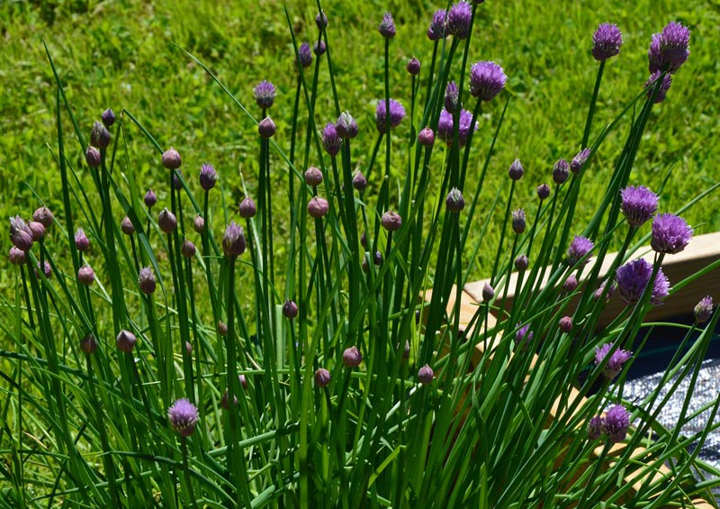 Chives - How to Grow
