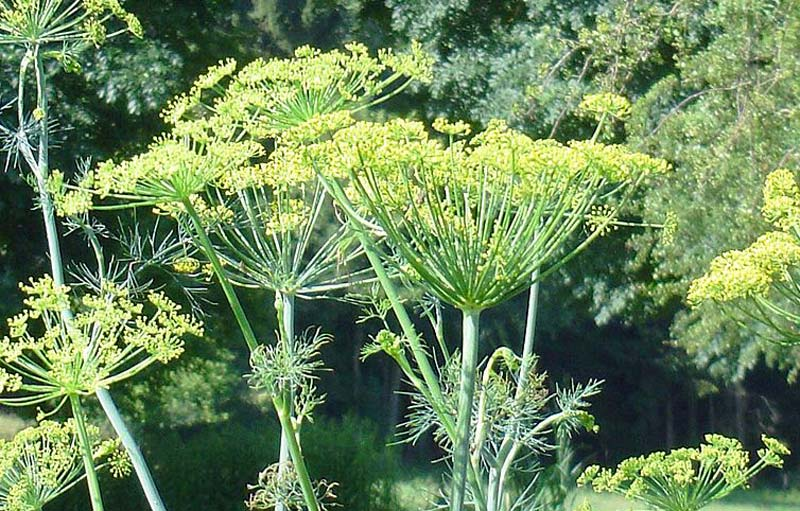 Dill how to grow quiet corner - Tips planting herbs lovage parsley dill ...