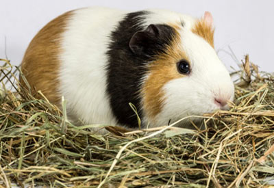 Equipment-for-your-Guinea-Pig-4-