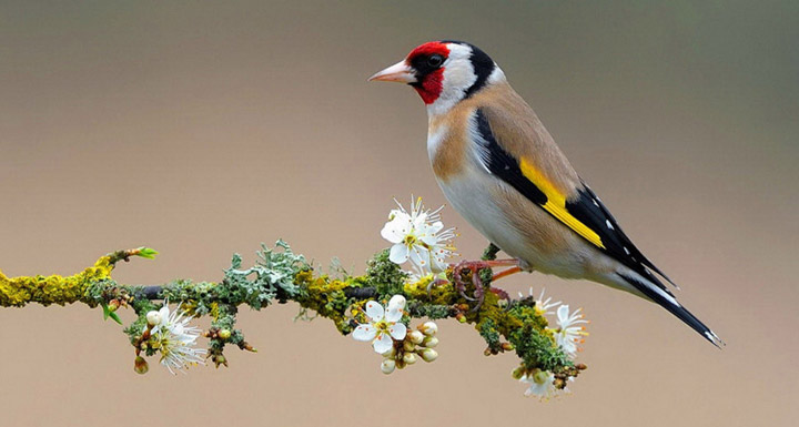 European Goldfinch Profile