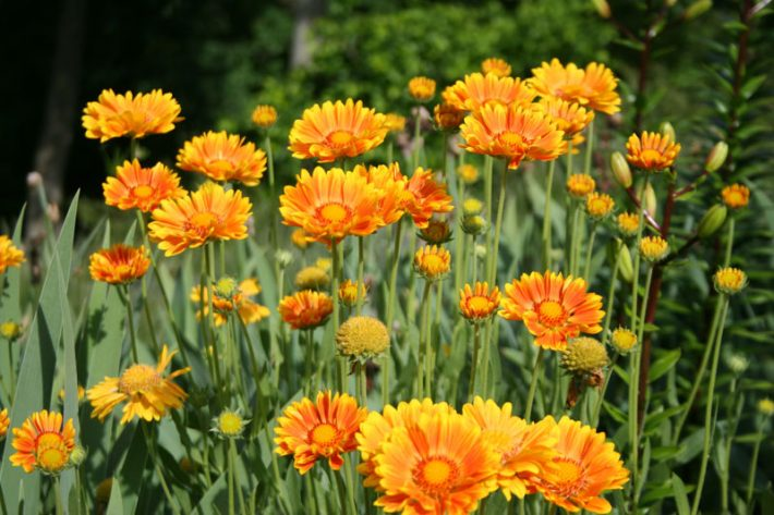 Gaillardia-Oranges-and-Lemons