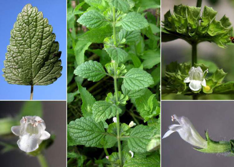 Lemon Balm How to Grow