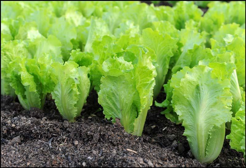 lettuce how to grow quiet corner. Black Bedroom Furniture Sets. Home Design Ideas