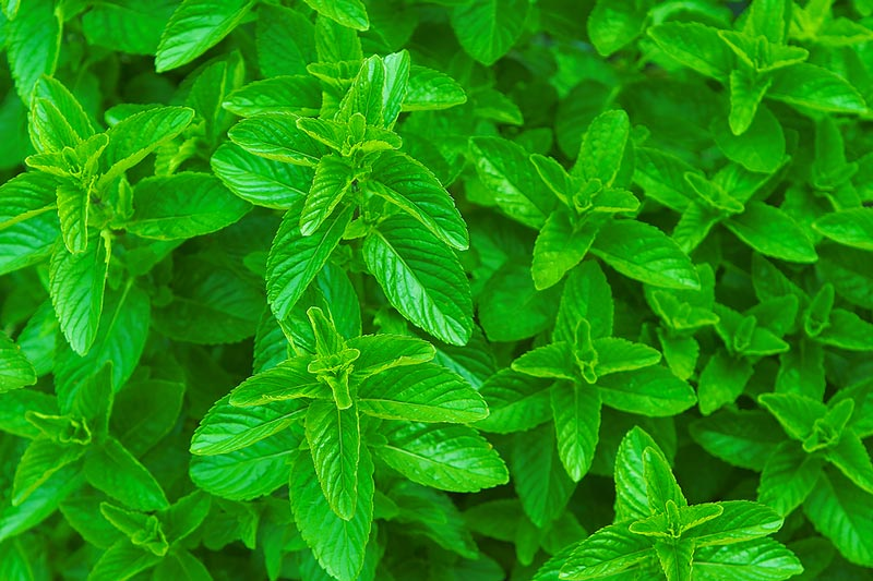Mint (Mentha) How to Grow