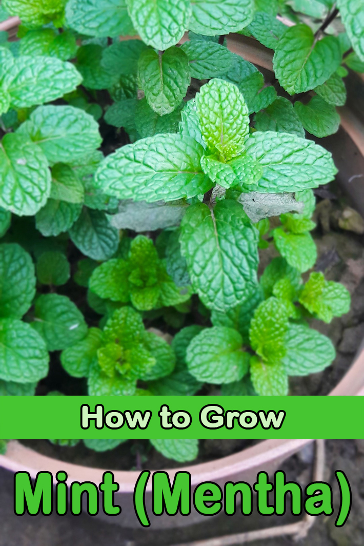 Mint (Mentha) - How to Grow - Quiet Corner