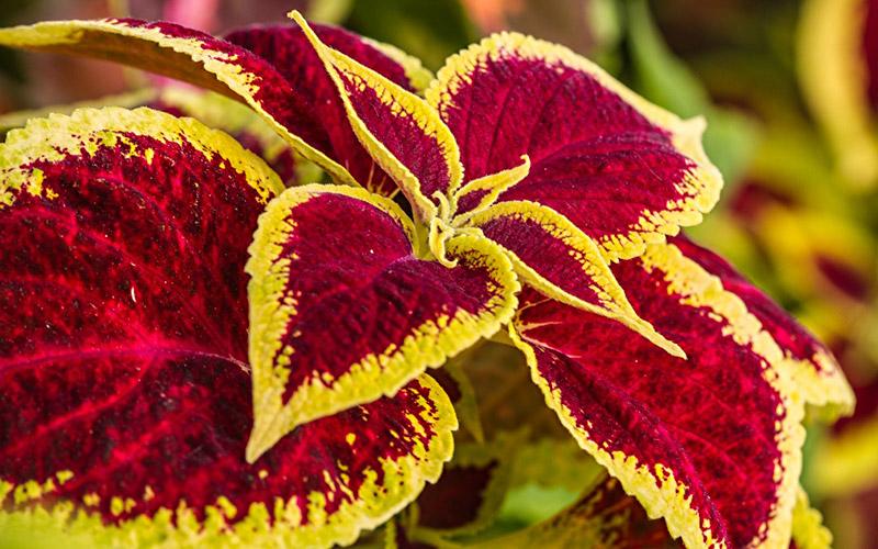 Spice-Up-Your-Garden---Coleus-hybrid
