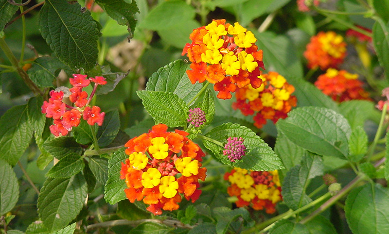 Spice-Up-Your-Garden---Lantanas