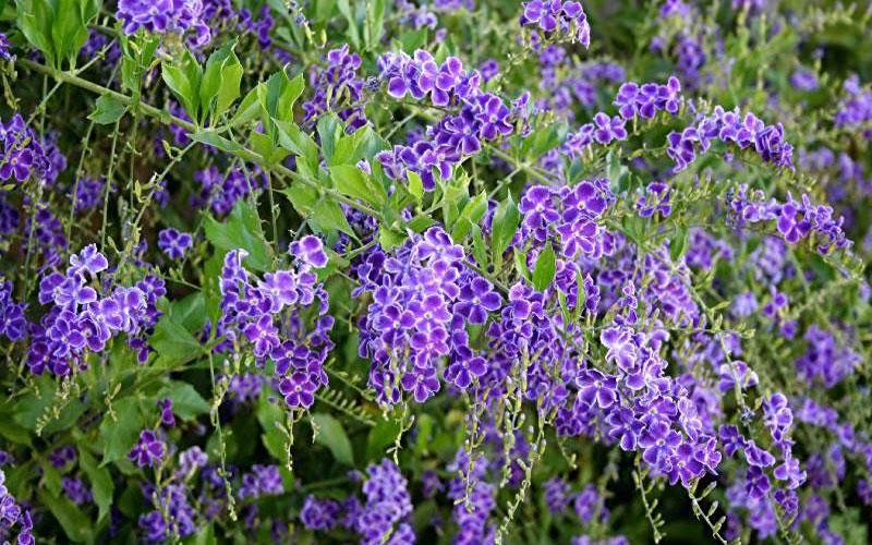 Spice-Up-Your-Garden---brazilian-skyflower