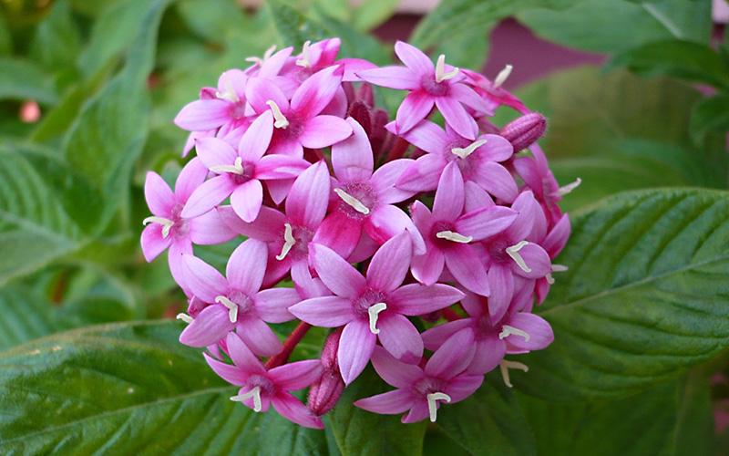Spice-Up-Your-Garden---pentas-lanceolata