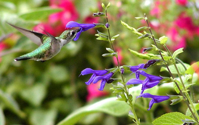 Spice-up-your-Garden---Purple-Majesty'-sage