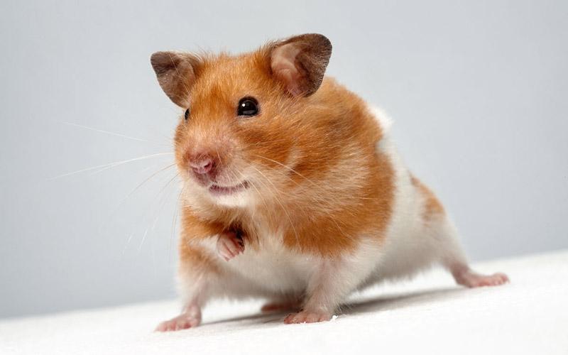 Syrian-Hamster-1