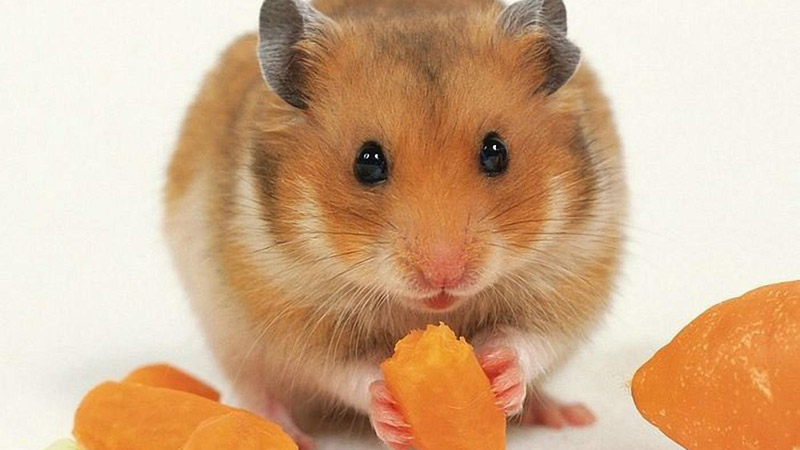 Quiet Corner:Syrian Hamster - Small Pet Buddy - Quiet Corner