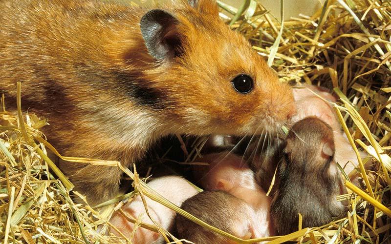 Syrian-Hamster-3