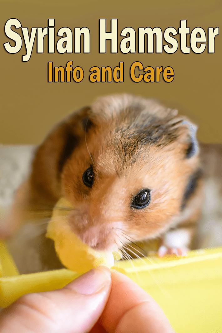 Quiet Corner:Syrian Hamster - Small Pet Buddy - Quiet Corner