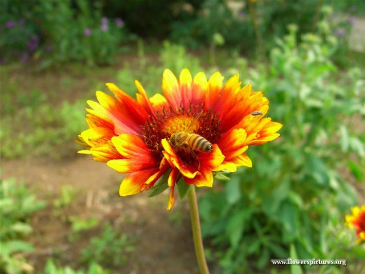 a-blanket-flower