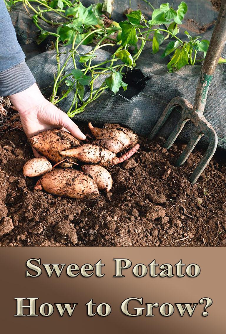 Sweet Potato – How To Grow