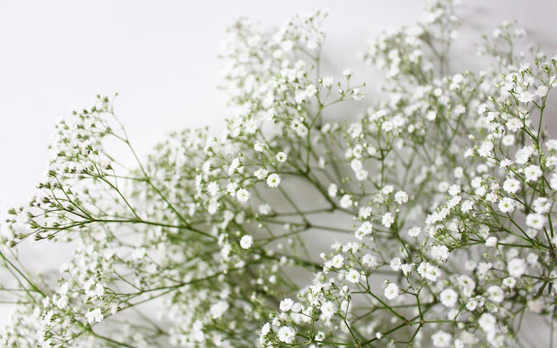 Baby's Breath (Gypsophila paniculata) - Planting