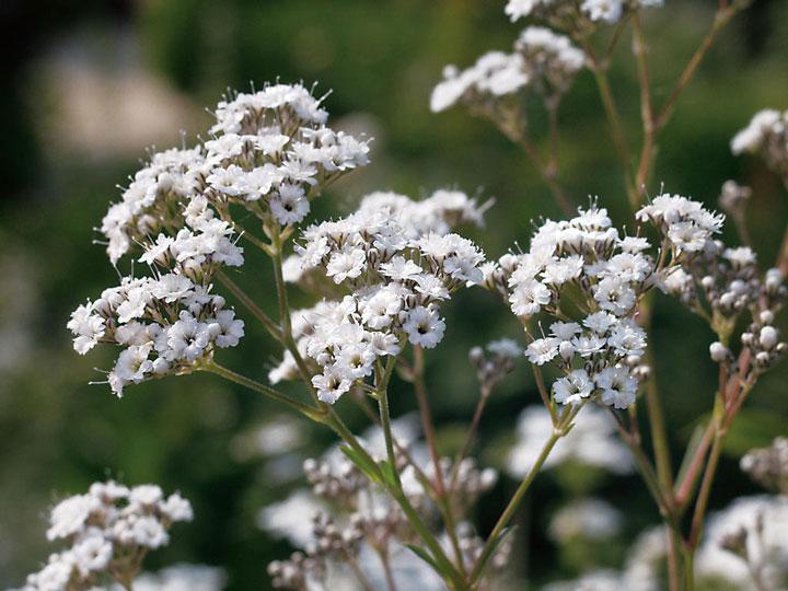 Baby's Breath (Gypsophila paniculata) – Planting