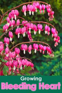 How to Grow Bleeding Heart