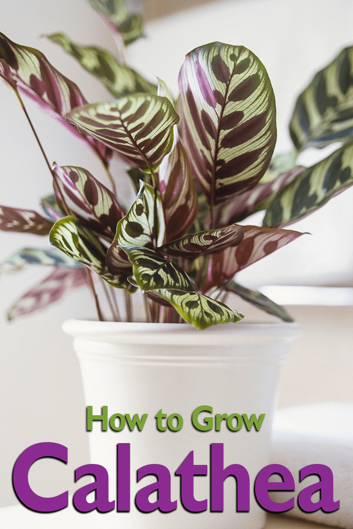 Calathea – How to Grow