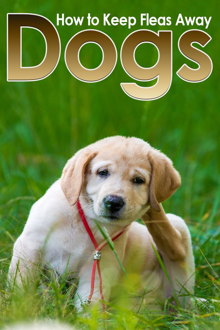Dogs – How to Keep Fleas Away
