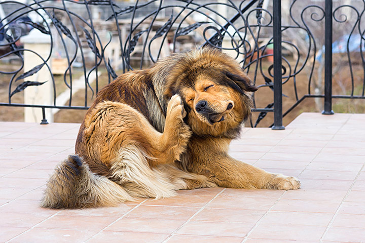 Dogs - How to Keep Fleas Away