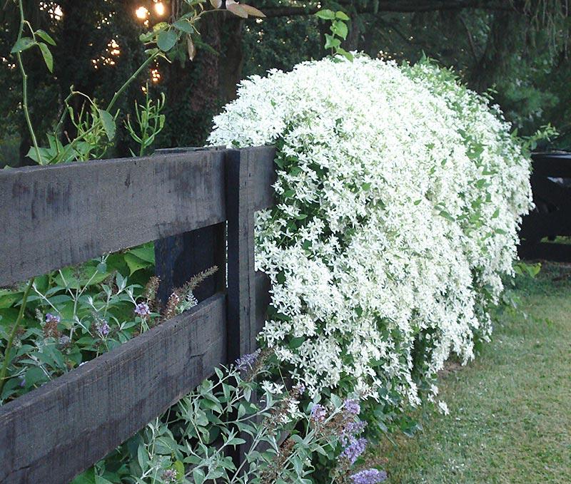 Fast-Climbing Vines for Your Garden - Quiet Corner
