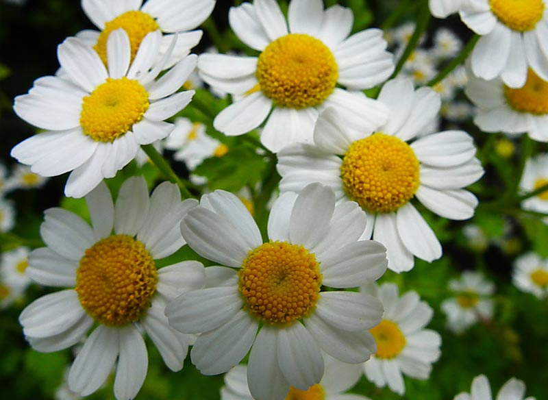 Feverfew (Tanacetum spp.) - 4 Friendly Medicinal Herbs for Your Garden