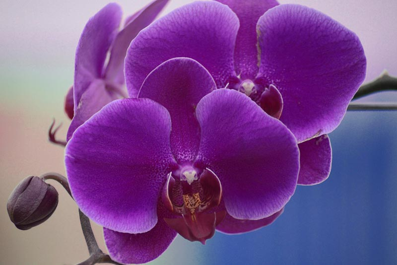 Growing Indoor Orchids