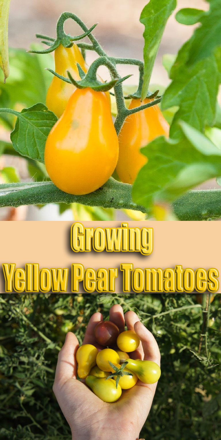 Growing Yellow Pear Tomatoes