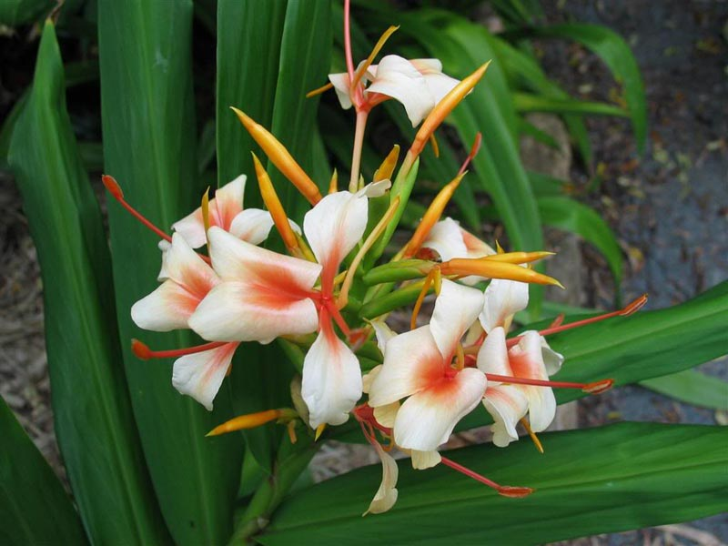 Hedychium Growing Ginger Lily Inside