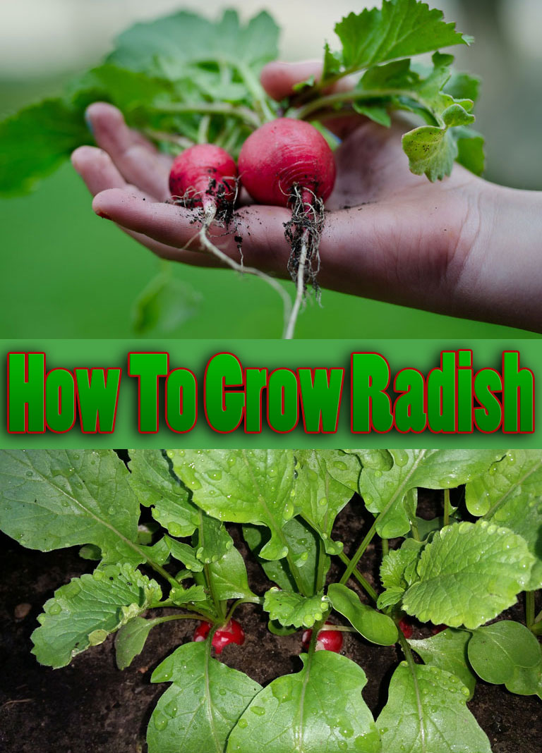 How To Grow Radish