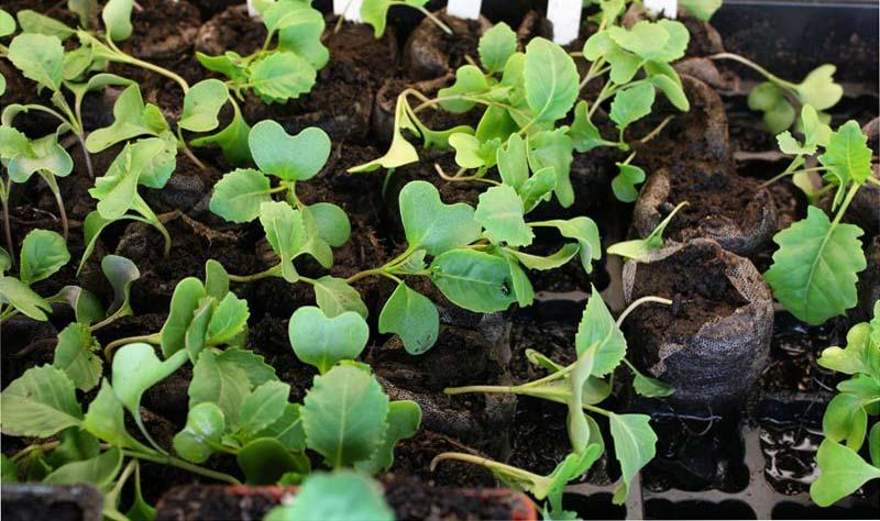 How to Grow Kohlrabi