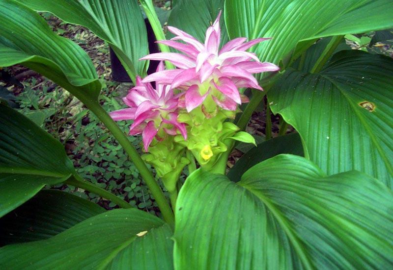 How to Grow Turmeric (Curcuma)