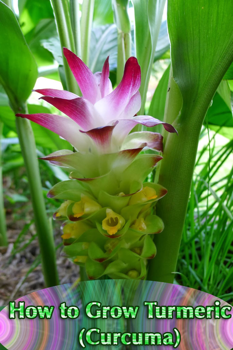 How to Grow Turmeric (Curcuma). Turmeric is likely best known as a pungent and bright yellow spice in Indian cuisine. The majority of people who are going to grow turmeric will have to do so indoors, and it does grow fine in pots... #gardening