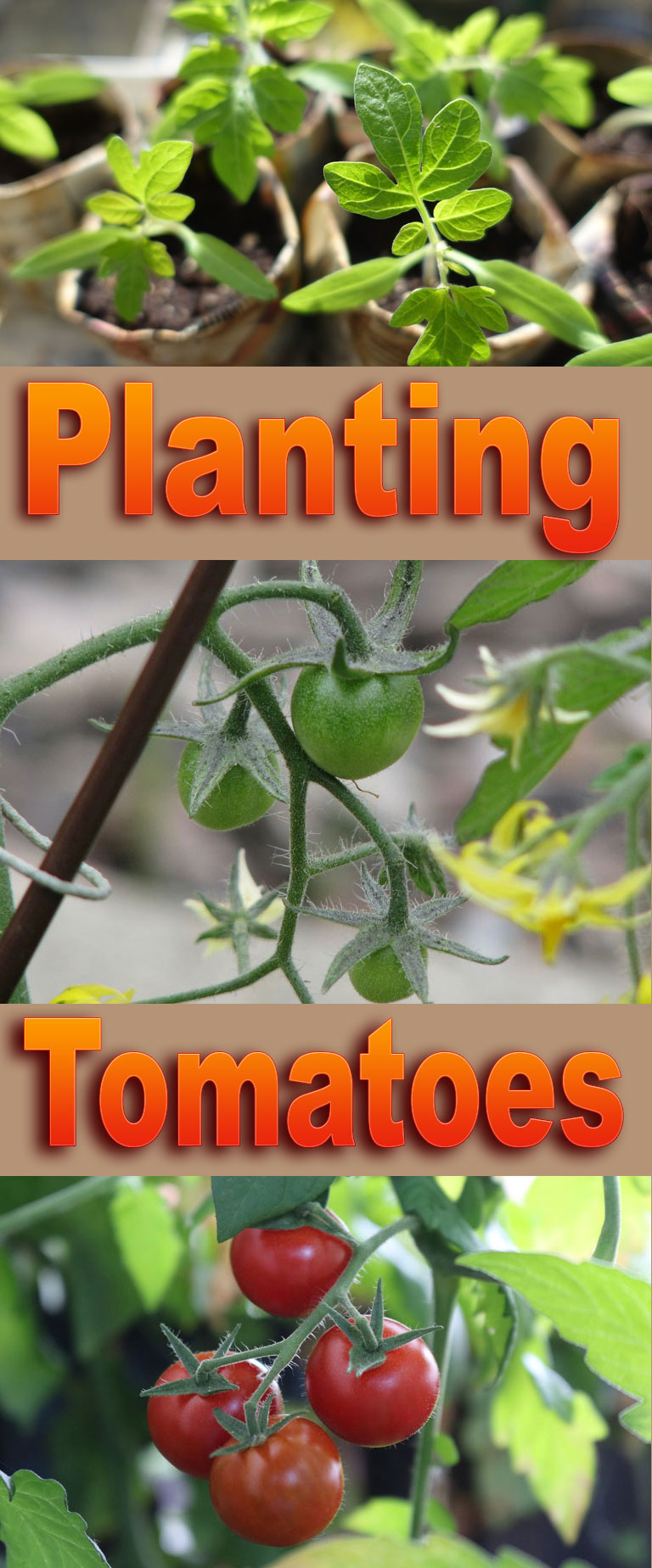 How to Planting Tomatoes