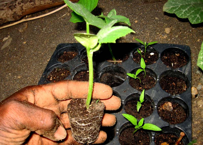 How to Sow and Grow Cucumbers from Seed