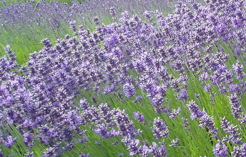 Lavender (Lavandula angustifolia) - 4 Friendly Medicinal Herbs for Your Garden