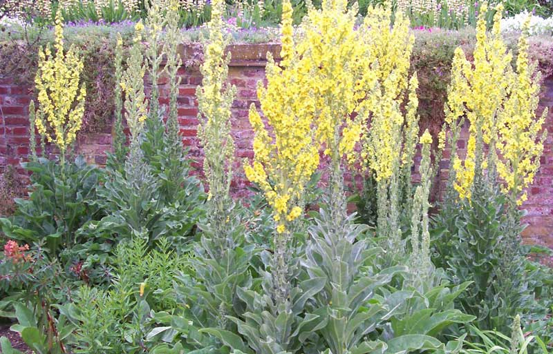 Mullein (Verbascum Thapsus) - 4 Friendly Medicinal Herbs for Your Garden