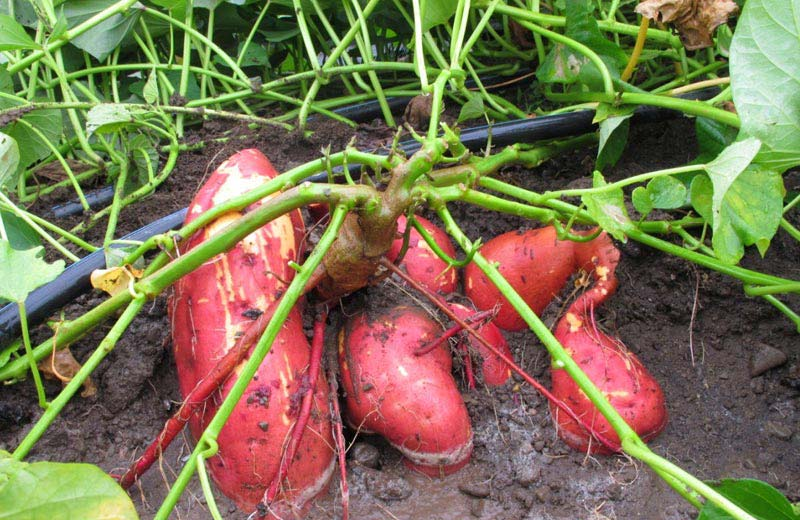 how to grow a sweet potato indoors