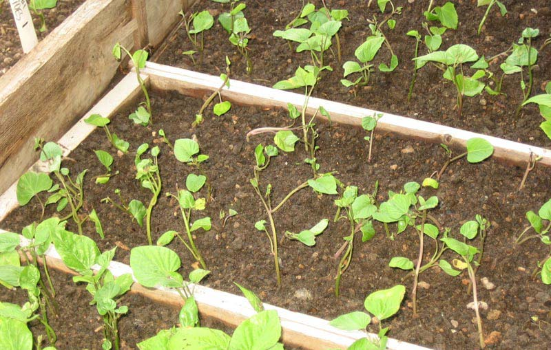 Sweet Potato How To Grow