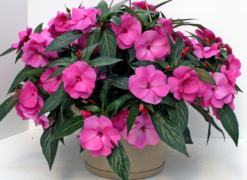 The Impatiens genus